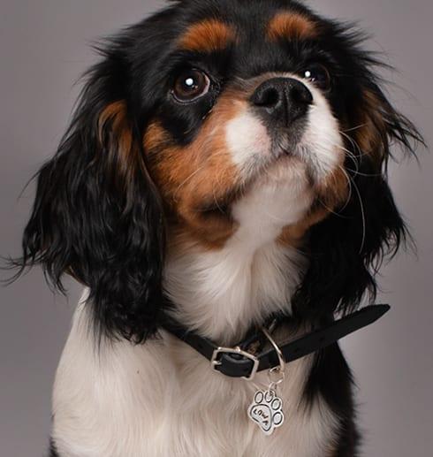 hundberlock runt halsen på en Cavalier king charles spaniel